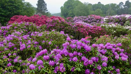 Beautiful rhododendrons at Sheringham Park. Photo: Julie Frost