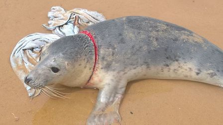 Rangers at Blakeney in north Norfolk freed a one-year-old grey seal pup from fishing net. Photo: Nor