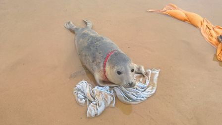 The pup made for the sea as soon as it was released. Photo: Norfolk Coast National Trust