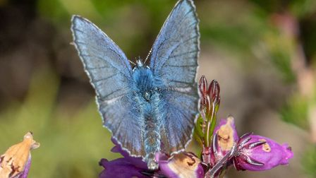 Lovely day at Buxton Heath yesterday. Lots of butterflies. Photo: Chris Trilsbach