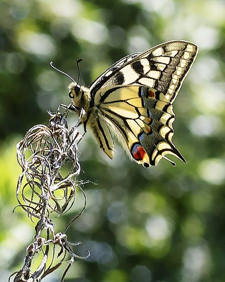 Swallowtail settled on a branch close-by the South Walsham river. Photo: Jeremy Thurston