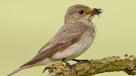 A spotted flycatcher. Photo: Tiggy Moore