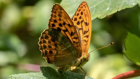 Silver Washed Fritillary butterflies. Photo: Chris Trilsbach