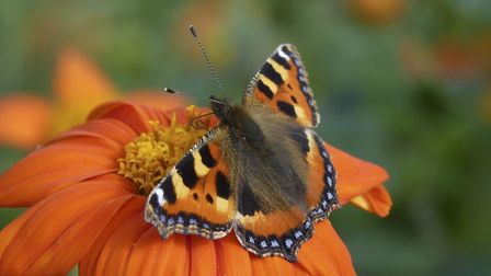 Tithonia. Picture: National Trust Images Matthew Oates