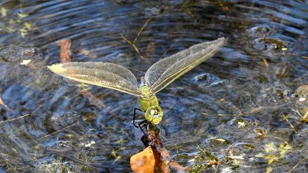 Emperor dragonfly laying eggs on the weed in Sparham pools. Photo: Paul Reynolds