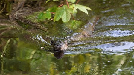 An otter in the River Gadder at Oxburgh Hall. Picture: JUSTIN MINNS