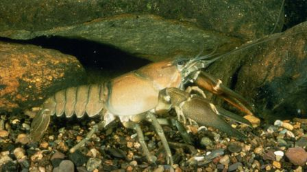 White-clawed crayfish. Picture: Environment Agency