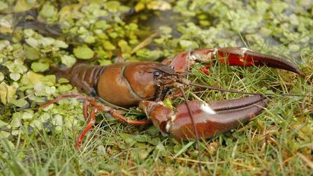 Signal crayfish. Picture: Trevor Renals