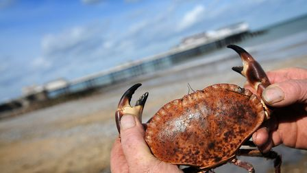"""Fishermen in north Norfolk say there is a crab shortage due to a """"generally bad year"""". PHOTO: ANTONY"""