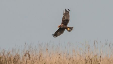 A marsh harrier juvenile at Cley Marshes. Picture: Ria Mishaal Photography
