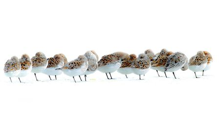 Sleepy Sanderlings, by photographer Paul Richards, whose work will be on show at the Norfolk Wildlif