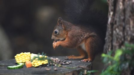 A red squirrel at Pensthorpe Natural Park, which is hosting a 'trick or tweet'event for Halloween. P