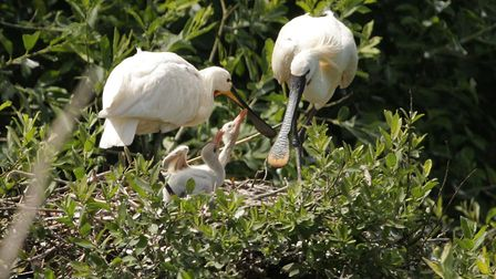 Spoonbills nesting at Holkham National Nature Reserve. Picture: Michael Rooney