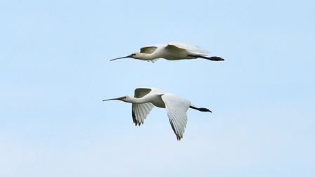 Spoonbills in flight over the north Norfolk coast. Picture: DAVID THACKER