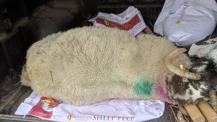 The attack saw the sheep's throat ripped out and left it breathing through it's neck. (Pictured, the
