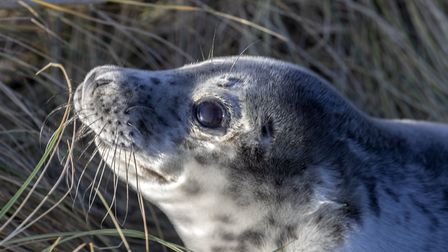 Weaned grey seal pup at Blakeney Point. Picture: National Trust - Ian Ward