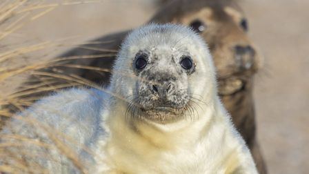 Blakeney Point grey seal pup and cow. Picture: National Trust - Ian Ward