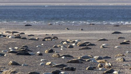 Grey seal colony at Blakeney Point. Picture: National Trust - Ian Ward