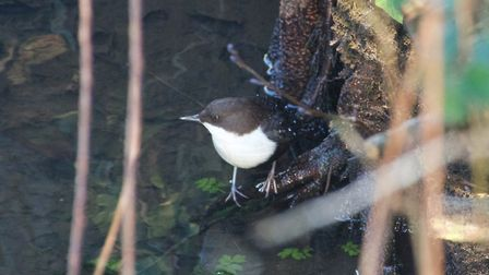 The black-bellied dipper. Picture: Malcolm Ducker