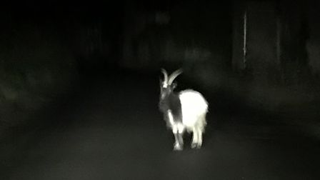 The escaped goat was spotted in Wiveton at 10.20pm on Saturday. Photo: PETER ROUNCE