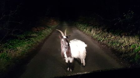 The goat near the junction of the A149 west of Kelling school and Wood Lane, which runs to Salthouse