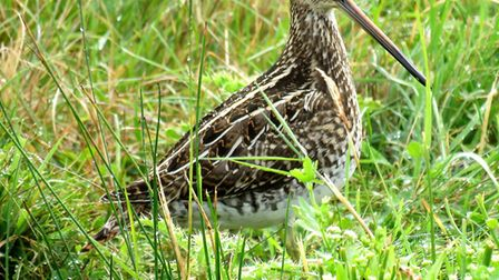 A snipe at Cley Marshes. Picture: PAUL LAURIE