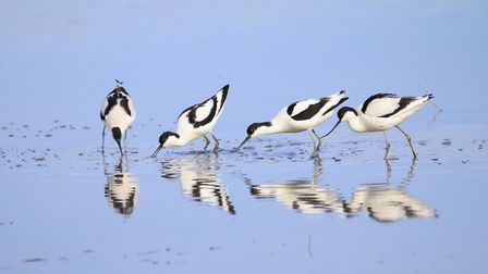 Avocets feding at Cley Marshes. Picture: ARCHANT LIBRARY