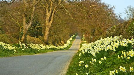 The 'mile of daffodils' at Honing. Picture: MAURICE GRAY