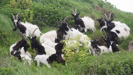 The Bagot nanny goats and kids graze the cliffs in Cromer over summer. Picture: DENISE BRADLEY