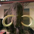A model of a wooly mammoth at Ipswich Museum. The animals were thought to roam the plains of Doggerl