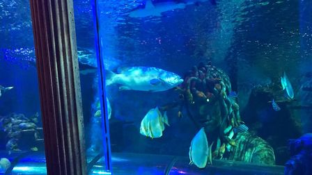 Lance the Queensland Grouper. Great Yarmouth Sea Life Centre