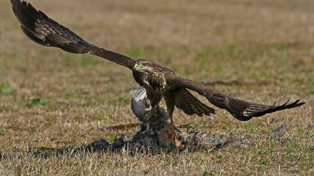 Raptor with pheasant by Tony Howes was one of the top photographs from the Buxton Photographic Soci