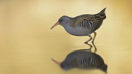 Waterrail by Mark Ellis was one of the top photographs from the Buxton Photographic Society's secon