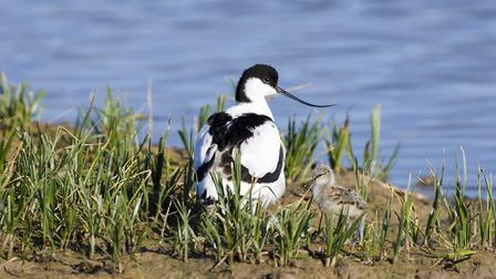 Avocet and chick at Cley. Picture: DAVID TIPLING