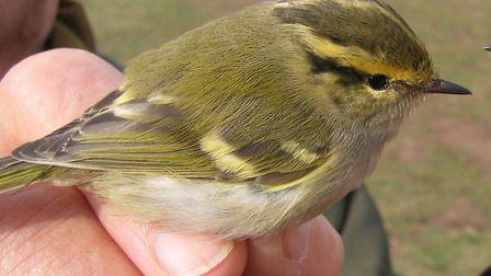 A Pallas's warbler photographed at Weybourne Camp in 2015. Picture: MOSS TAYLOR