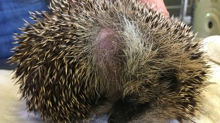 Spring the hedgehog is recovering after being caught in netting. Picture: Maggie Wilcox
