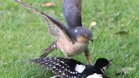 A Norfolk photographer has captured photos of a dramatic battle between a woodpecker and a sparrowha