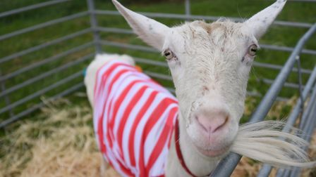 Charm the goat enters into the spirit of the Where's Wally event, welcoming visitors to Stody Lodge