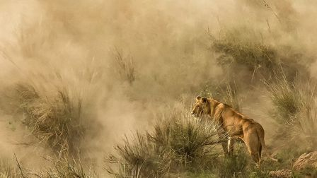 Lioness in a Dust Storm, by Diana Knight, came second place in the advanced category. Photo: Diana K
