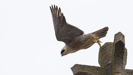 A peregrine falcon takes flight from its nesting site at Cromer Parish Church. Picture: LYNN RUDD PH