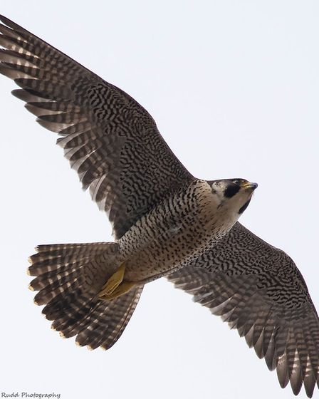 A peregrine falcon in flight over Cromer. Picture: LYNN RUDD PHOTOGRAPHY