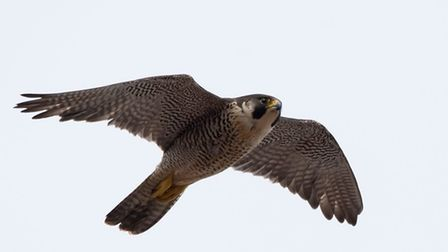 A peregrine falcon takes flight over Cromer. Picture: LYNN RUDD PHOTOGRAPHY