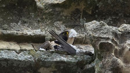A peregrine falcon, perched on high at Cromer Parish Church, seen with feathers in its mouth from a