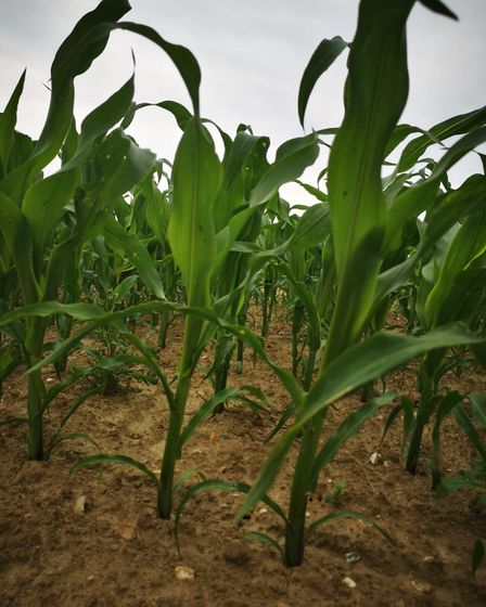 JR's Maize Maze, growing at Rossis Leisure in North Walsham. Picture: Rossis