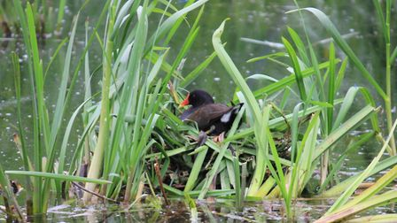 A moorhen mother sitting on her nest on the pond at Beeston common.Picture: KAREN BETHELL
