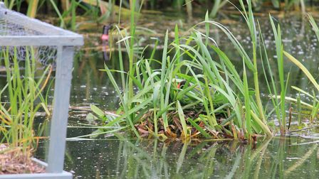 A moorhen mother sitting on her nest next to the floating bird 'hotel' on the pond at Beeston common