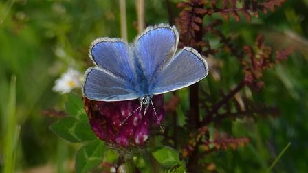 A Common Blue, one of the 26 species of butterfly recorded annually on Sheringham and Beeston Regis