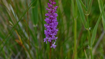 A fragrant orchid, one of the many varieties of wildflower growing on Sheringham and Beeston Regis c