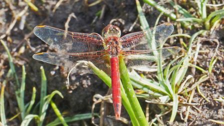 A common red-veine darter, one of the 21 species of dragonfly recorded annually on Sheringham and Be