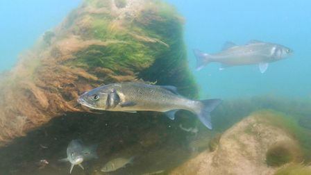 Sea bass seen along the Sheringham Snorkel Trail. Picture: christaylorphoto.co.uk